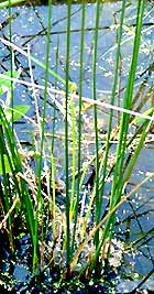 Nature - Plants for bayou restoration picture