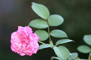 Gardening: Antique Rose Picture