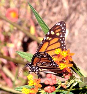 Gardening: Monarch on Butterfly Weed (Milkweed) Picture