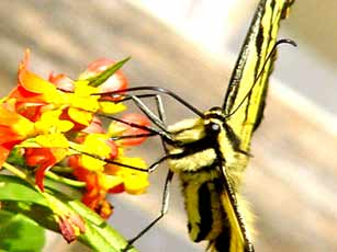 Gardening: Tiger Swallowtail on Butterfly Weed Picture