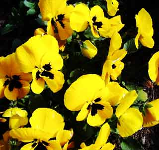 Gardening: Pansies Picture